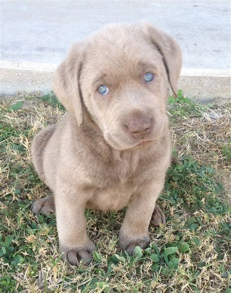 silver lab puppies for sale in ohio silver labrador puppies for sale in ohio breeds picture