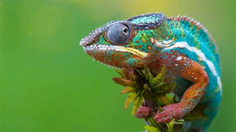 color changing lizard chameleon wallpapers wallpaper cave