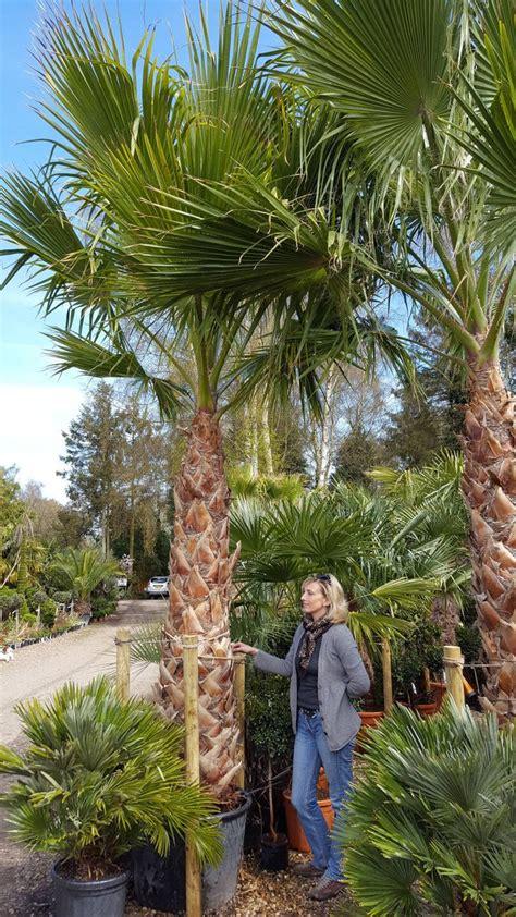 mexican fan palm care 25 best ideas about mexican fan palm on pinterest