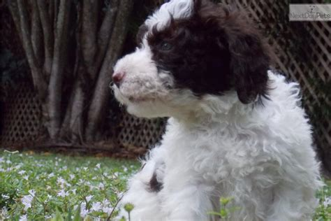 lagotto romagnolo puppies for sale lagotto romagnolo puppy for sale near west palm florida 1cf67efb e5c1