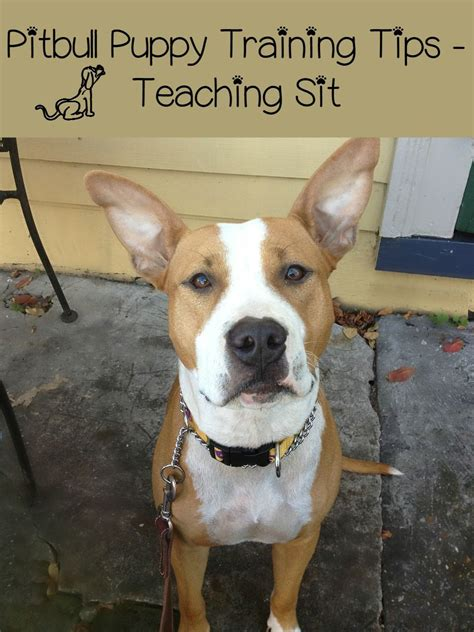 pitbull puppy tips pitbull puppy tips teaching sit dogvills