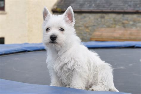 west highland white terrier puppy puppies white terrier