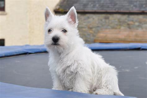 white terrier puppy puppies white terrier