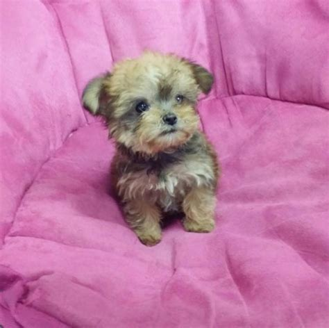 yorkies morkies and more morkie maltese yorkie mix puppies 3 5 lbs 5 5 lbs cutest faces