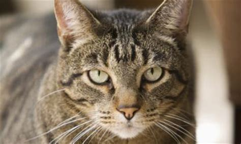 Short Haired Cat Breeds ? Purrfect Cat Breeds