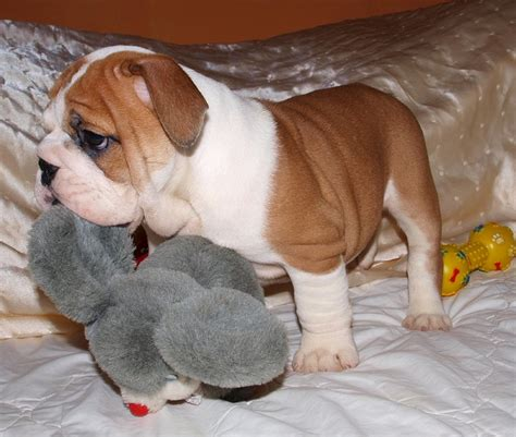 puppies for adoption in ohio bulldog puppies for adoption and adorable bulldog puppies breeds