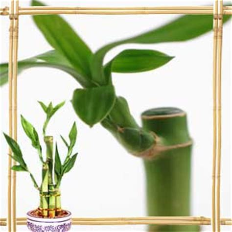 feng shui bamboo plant in bedroom feng shui bamboo plant in living room living room