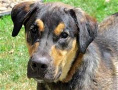 rottweiler rescue wv great dane rottweiler mix rottweiler great dane mix for adoption in clayton new