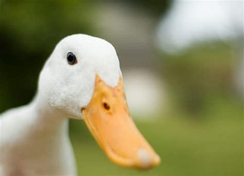 people  ducks  pets petmd