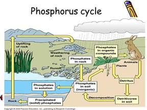 phosphorus cycle worksheet worksheets for getadating