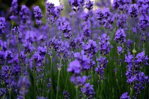 beautiful lavender flowers photo 34658215 fanpop