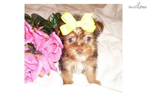 yorkie litter box terrier yorkie for sale for 500 near evansville indiana cf355a6c f521