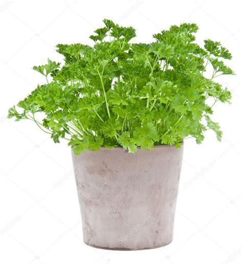 Plant De Persil by Persil Plante Dans Un Pot De Fleurs Photo 10710520
