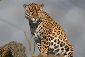 Zoo Jaguar Jaguar Chester Zoo 2013 187 Chester Zoo Gallery