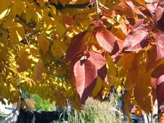 co horts the mid summer leaf drop blues co horts the science autumn leaf colors