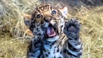Pics Of Baby Jaguars San Diego Zoo S Playful Baby Jaguar Will Melt Your