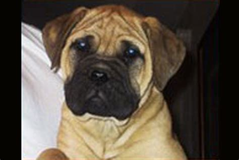 bullmastiff puppies for sale ny how to a barking noise bullmastiff puppies for sale ny poodles for sale in