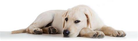 puppy sickness parvo parvovirus info healthypets