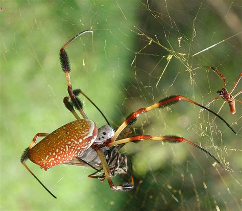 where did the golden live u s military testing genetically engineered spider silk