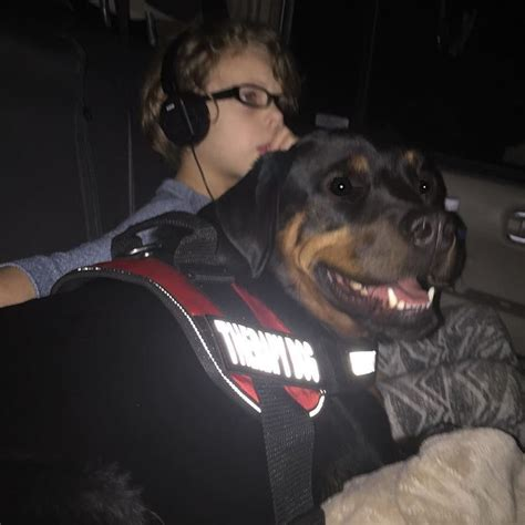 rottweiler therapy certified therapy at work heartbutt rottie rottweiler rottweilersofinstagram
