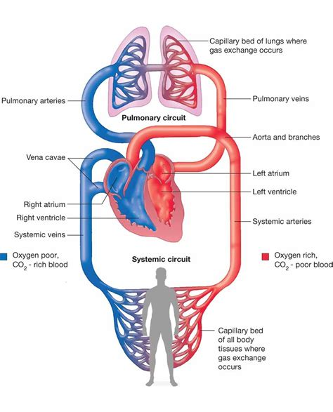 systemic diagram human circulatory system diagram photos systemic and