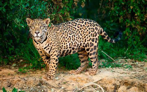 imagenes de animales jaguar jaguar herencia cultural en peligro de extinci 243 n forbes