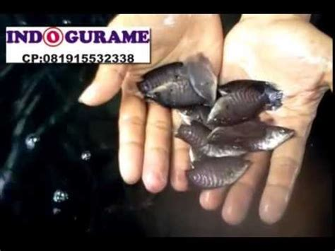 Bibit Gurame budidaya gurame kolam terpal jual telur bibit nener larva benih ikan gurame gurami 081915532338