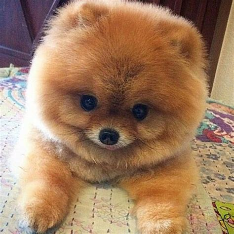 define pomeranian the 25 best teddy pomeranian ideas on teacup pomeranian baby