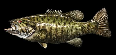 Bass Fisch by Smallmouth Bass Fish Mount And Fish Replicas Coast To Coast