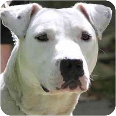 dalmatian pitbull mix puppies baby adopted chicago il dalmatian american pit bull terrier mix