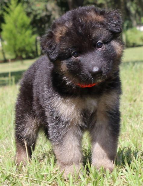 k9 puppies wdr k9 puppy questionnaire german shepherd breeder in central florida