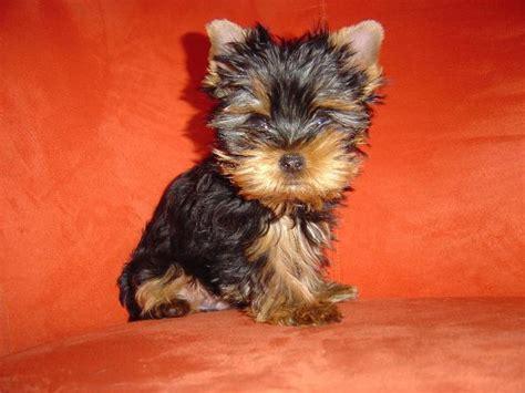 mini yorkie terrier terrier mini welpen
