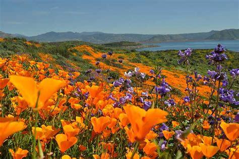 california desert flowers main page www michaelrutigliano com