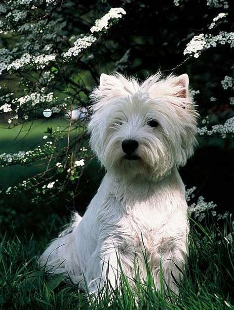 West Highland White Terrier Shedding by West Highland White Terrier Breed Information Puppies