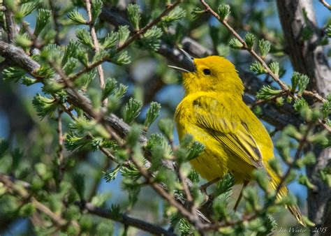 yellow warbler focusing on wildlife