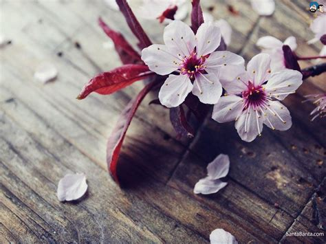flower blossom wallpaper cherry blossom wallpapers wallpaper cave