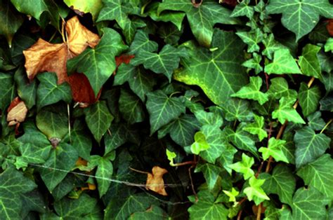 climbing plants for walls evergreen evergreen climbing plants ehow uk