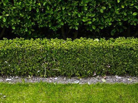 piante x giardino siepi da giardino immagini design casa creativa e mobili