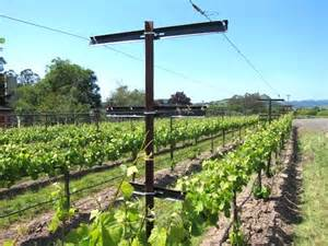 Trellis Systems For Vineyards and trellising romero vineyard management