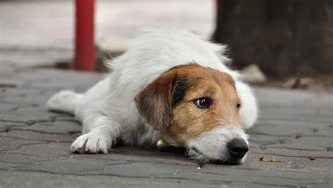 lupus in dogs lupus in dogs symptoms causes diagnosis and treatment dogtime
