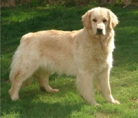 perro golden retriever conoce todo sobre los golden retriever raza golden retriever