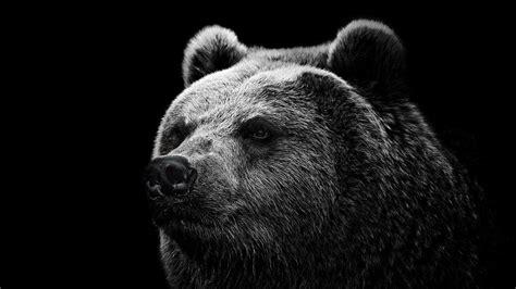 wallpaper black and white 4k download bear face black background 4k wallpaper for
