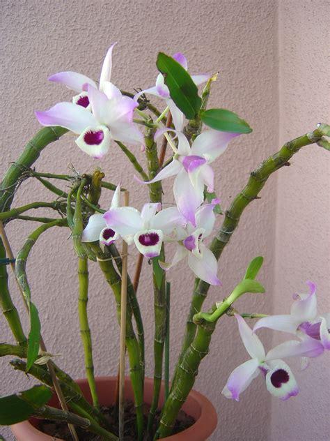 Dendrobium Anosmum Alba Limited Dendrobium Nobile File Dendrobium Nobile Wikimedia