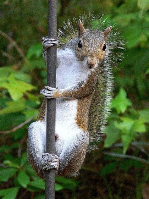 pole dancing squirrel fun space pinterest