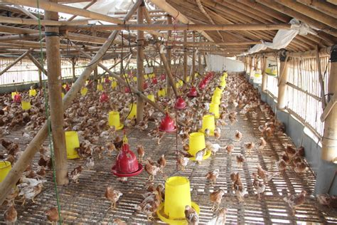 Jual Bibit Ayam Petelur Bandung jual pullet ayam petelur produsen pullet layer