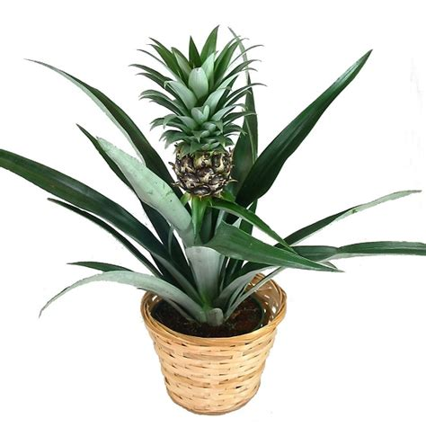 piante da arredamento piante da appartamento per la casa arredare con le piante