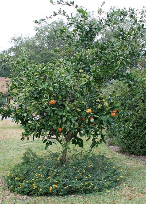 mississippi gardens can produce fresh citrus fruit - When Do Satsuma Trees Produce Fruit