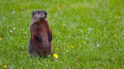 groundhog day groundhog celebrate groundhog day embark on a marmot thon cool