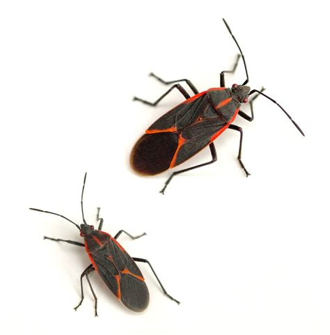 bugs three com boxelder bugs red and black bugs canton termite pest