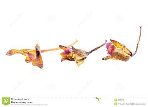 orchidea fiori secchi fiori secchi dell orchidea fotografia stock immagine di